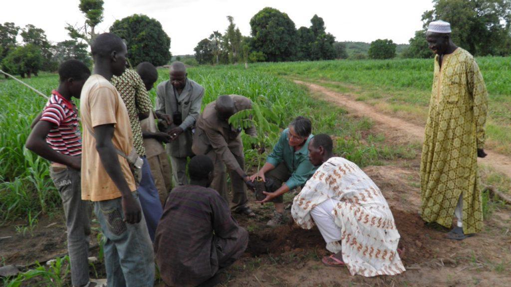 Planting legume saplings