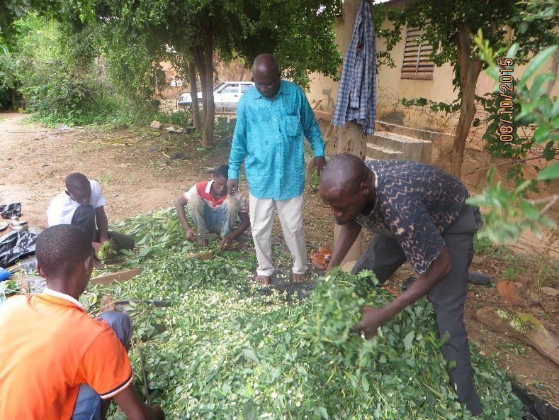 Cassava silage preparation