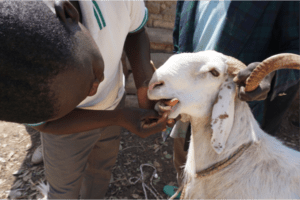 goat tooth exam
