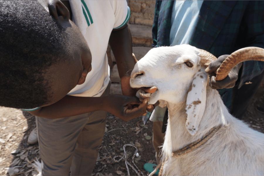 goat tooth exam
