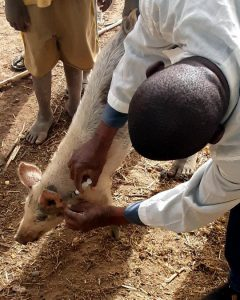 A student is giving a pig a shot behind its ear.