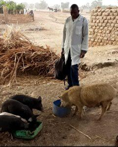 A student observes a group of pigs eating their feed.