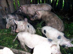 A group of local breed pigs in a shelter made of logs and green material.