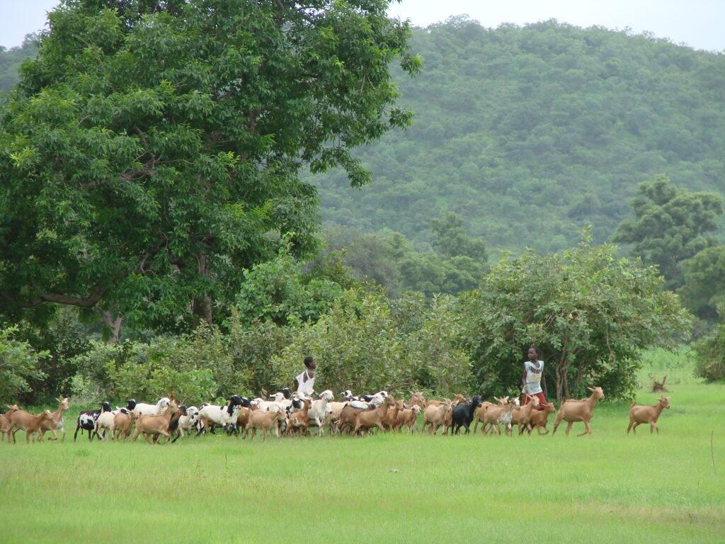 trees and climate change play an important role with these rural communities that use pasture land for their goats and sheep