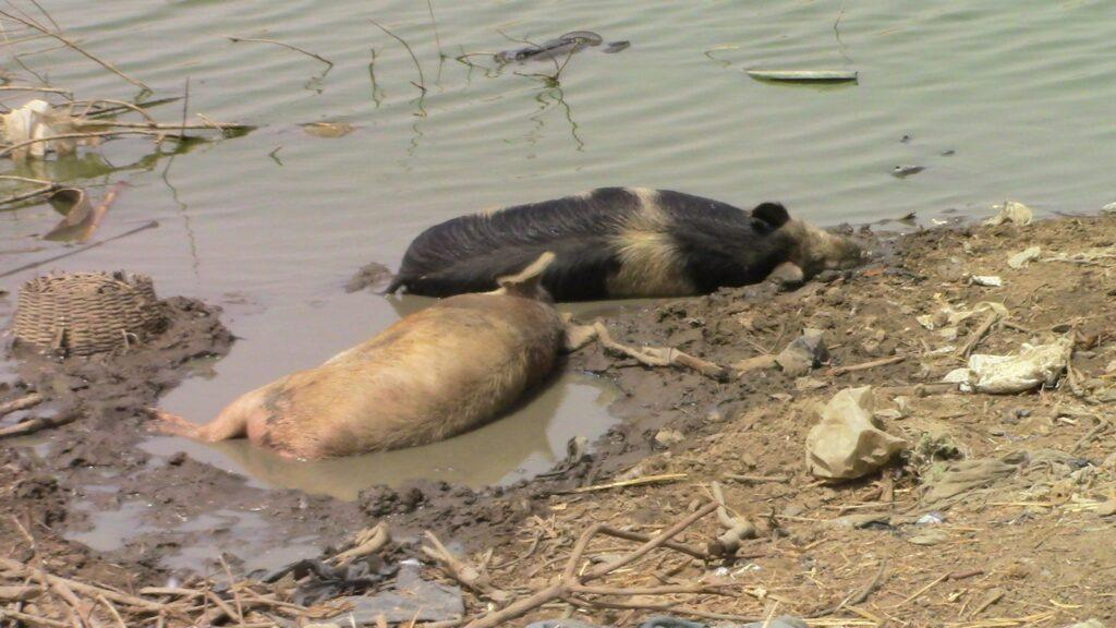 two pigs lay in shallow water