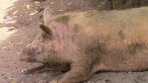 a large pink pig laying in the shade