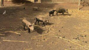 piglets walking around on dirt and straw