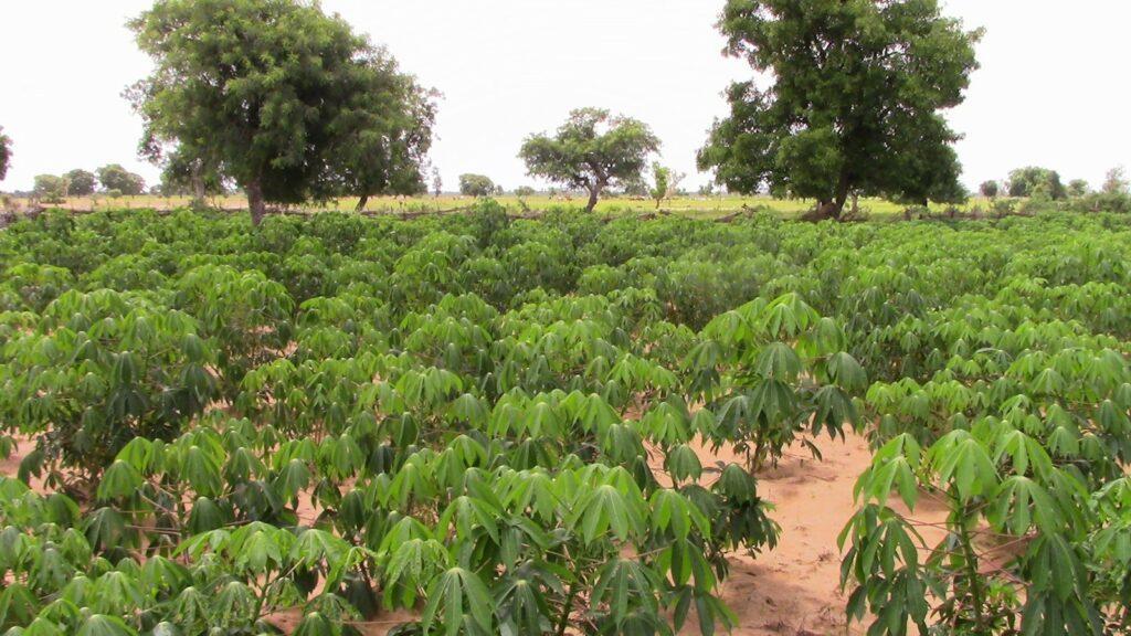 cassava plants growing in a field