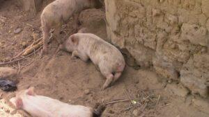 piglets laying in the dirt